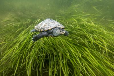 Last stand for eelgrass?
