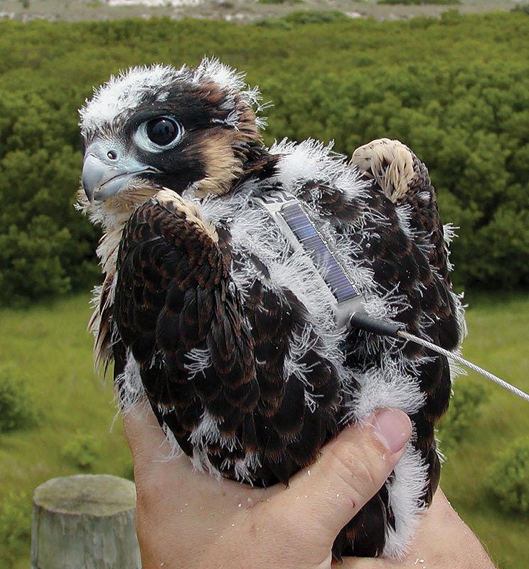 Peregrine falcons slow to return to Appalachia