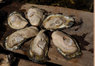 Corona_seafood industry impact_oysters
