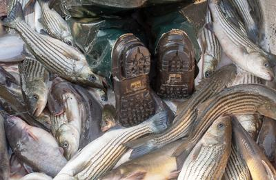 Boots among striped bass