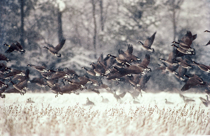 Hunting season, bag limits for migratory Canada geese, mallards to be reduced next year