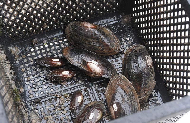 Freshwater mussels in basket