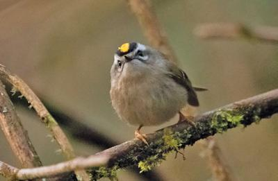Golden crowned kinglets: glints that catch our soul by surprise