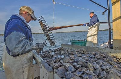 Tonging for oysters