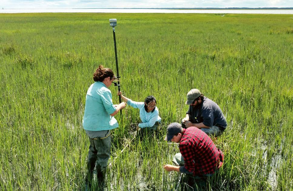At Deal Island, marsh grass predicts where land will drown - The Chesapeake Bay Journal