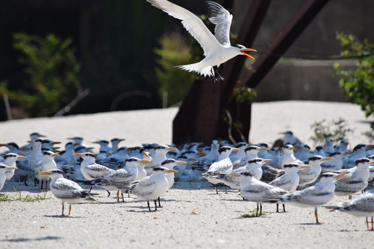 Terns on Fort Wool, VA