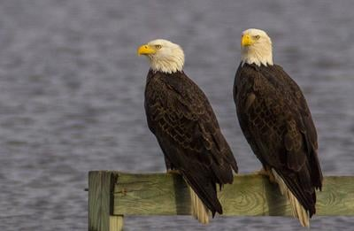 Pair of adult eagles by water