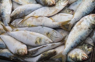 Harvested menhaden