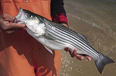 Striped bass population in trouble, new study finds