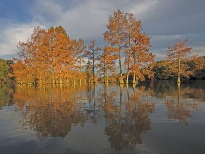 Bald cypress stand with yellow leaves