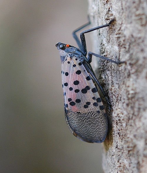 Spotted lanternfly, a dire threat to crops, shows up in MD