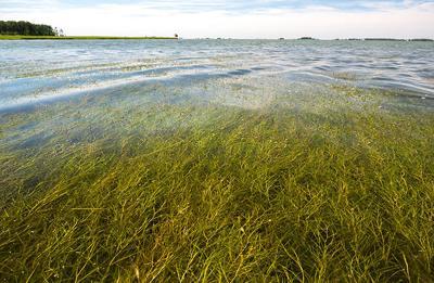 Widgeon grass in Honga River, MD