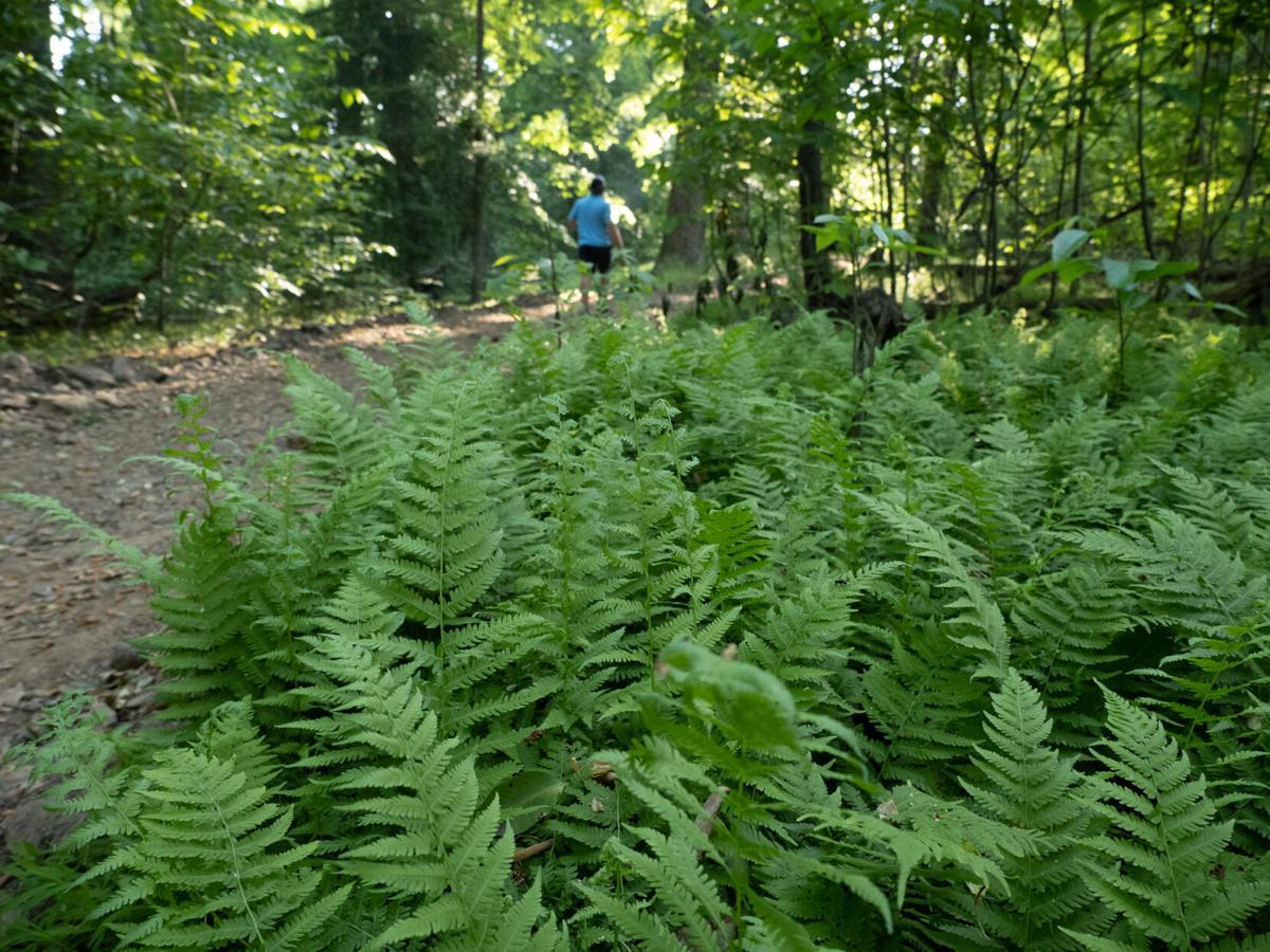 Ferns on trail at Elk Neck State Park, MD