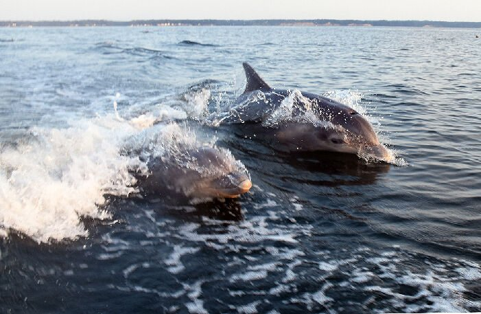 Dolphins on the Patuxent