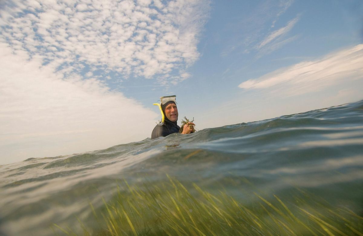 Bob Orth of VIMS in seagrass