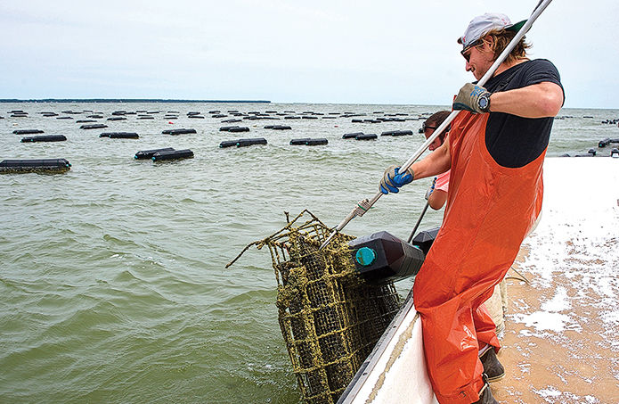 Open water oyster farming