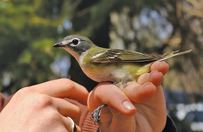 One last look is rewarded with an unexpected blue-headed vireo