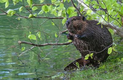 Beaver by pond