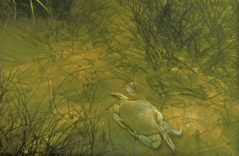 Blue crab in underwater grasses