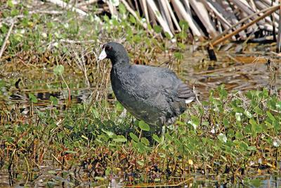 Admiration for oddball American coot is an a acquired taste