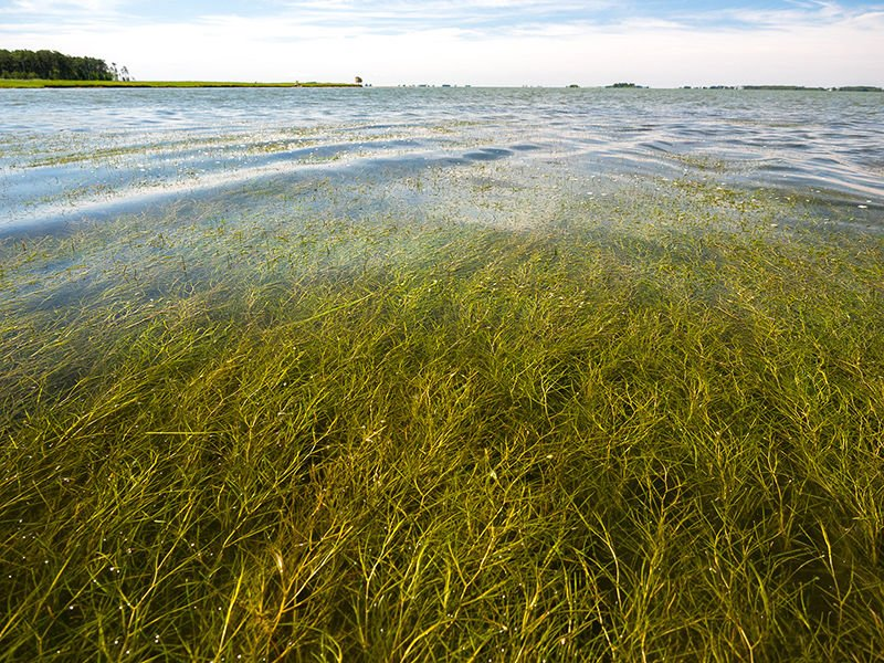 Bay grasses survived 2018 deluge, but losses expected this year