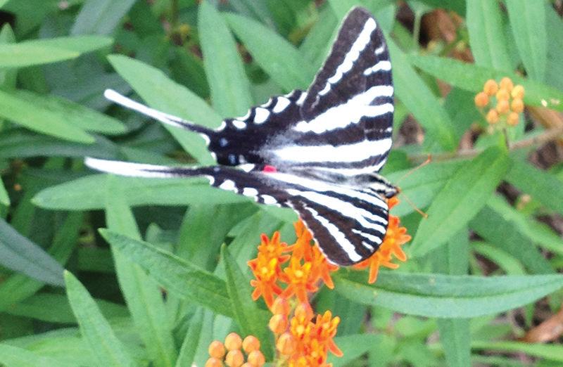 Zebra swallow-tail butterfly