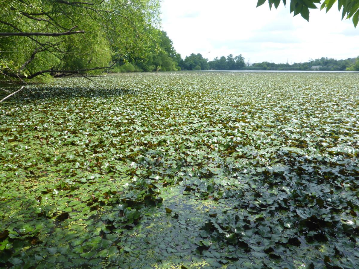 Invasive water chestnut in Virginia lake
