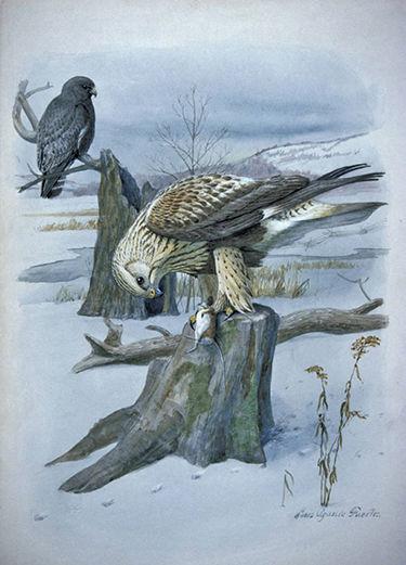 Rough-legged hawk's rare visit to Gettysburg strikes a chord