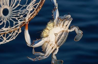 Crab with dip net