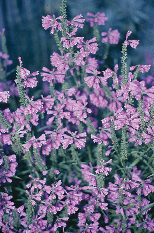 Be a good gardener – replace invasive plants with natives