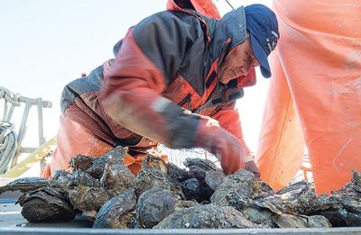 Oysters harvested near Norfolk Naval Station