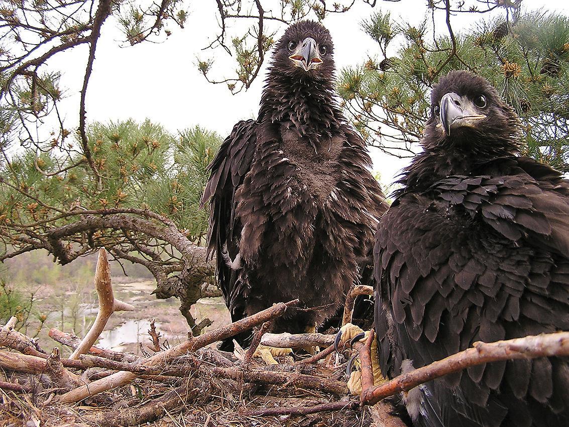Eagle chicks in nest