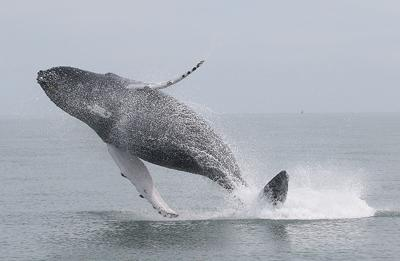 Humpback whales, large ships on deadly course at Bay's mouth