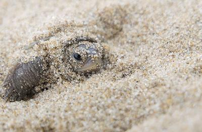 Terrapin in sand