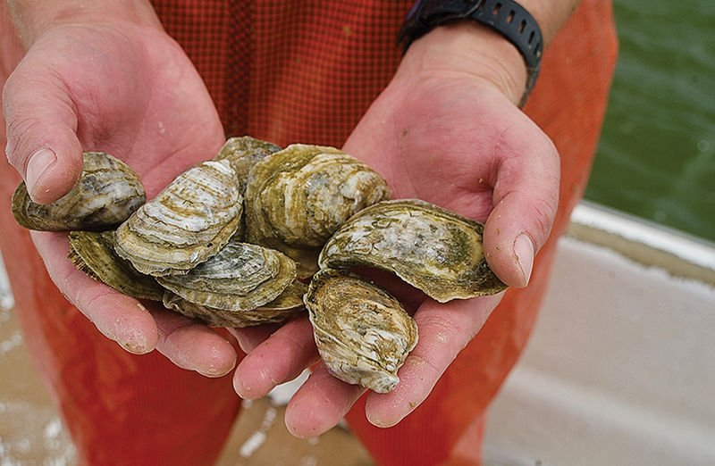 Oysters grown by aquaculture, VA