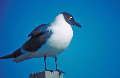 Thanks to migratory bird act, laughing gulls making a comeback – no joke