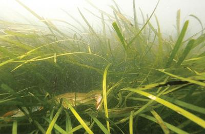 Nutrient reductions credited for resurgence in Bay's underwater grasses