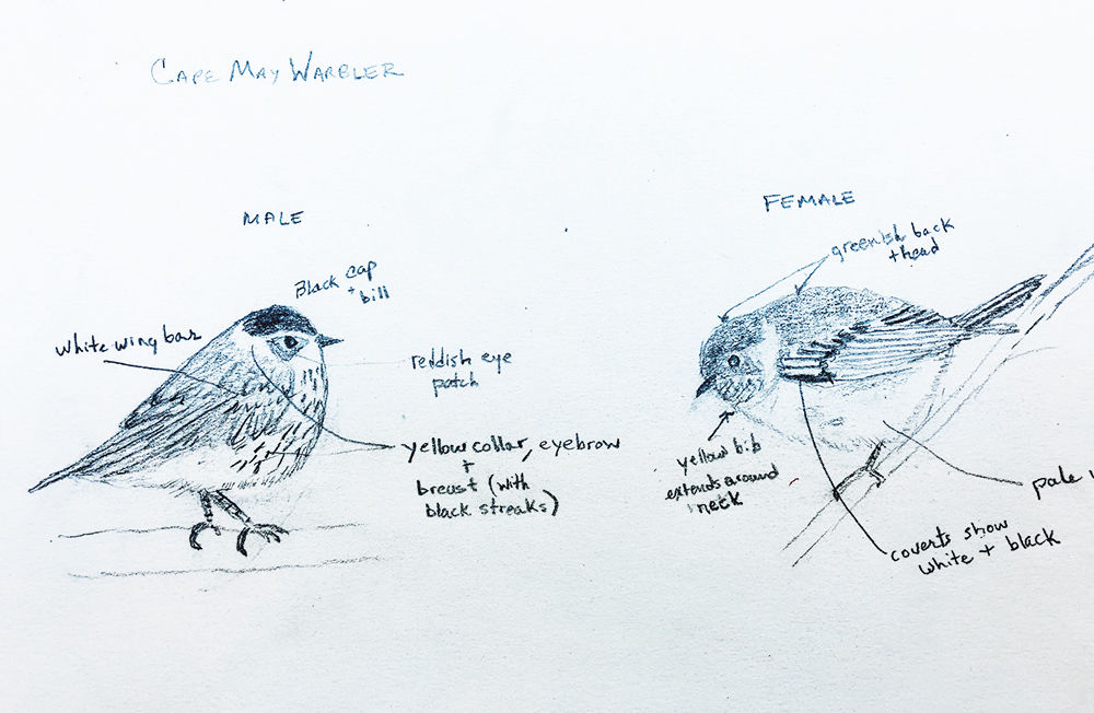 Cape May warbler sketch