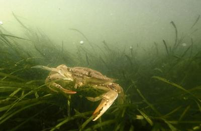 Blue crab in grasses