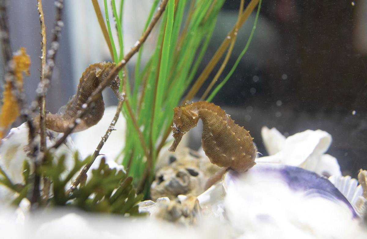 Lined seahorses