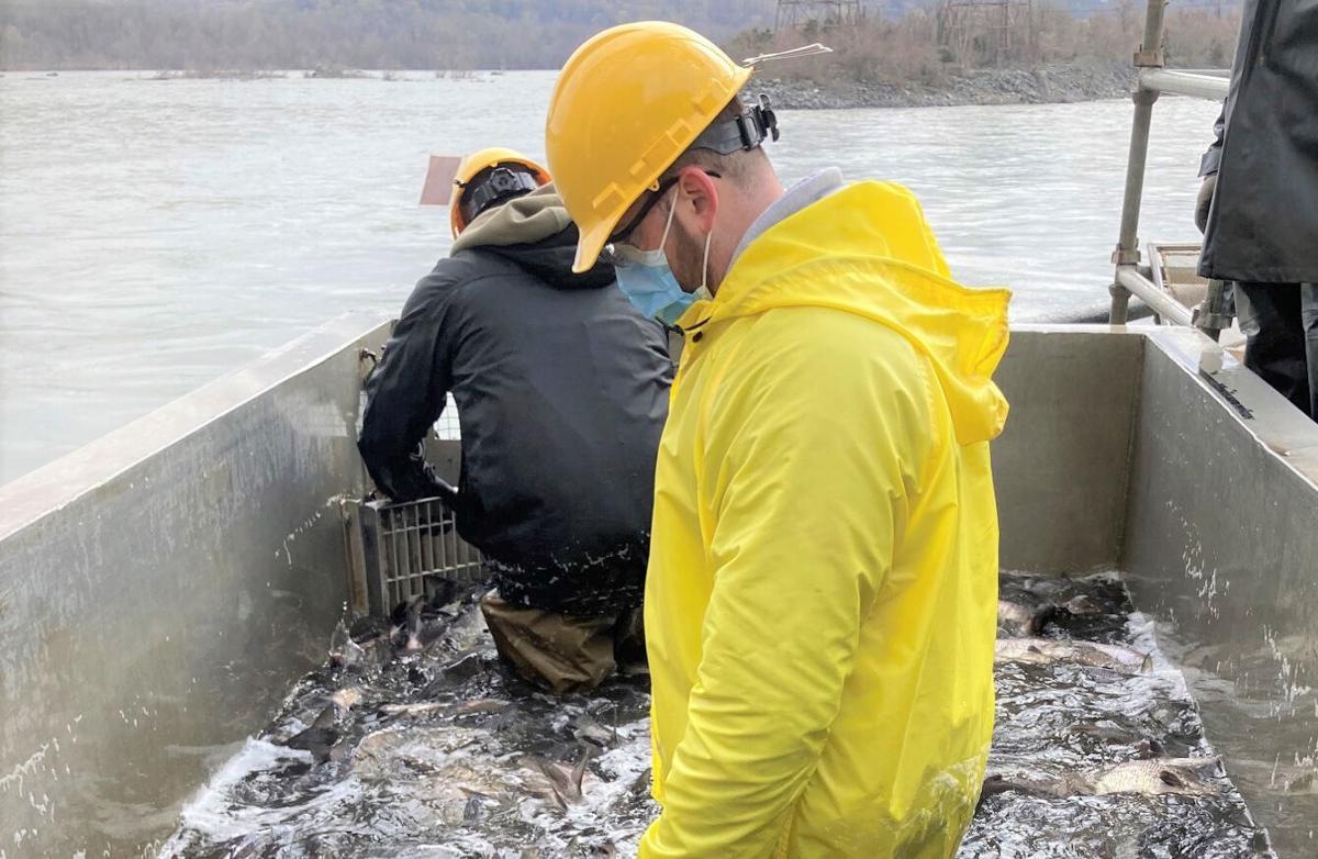 Sorting snakeheads at Conowingo Dam