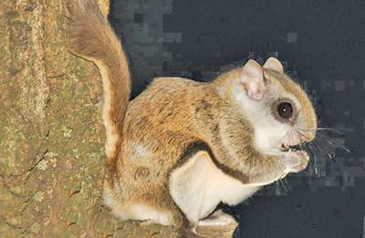 Spying a flying squirrel can brighten one's spirits on the darkest night