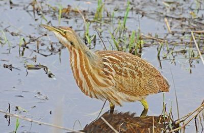 American bittern reminds us of wonders that hide in plain sight