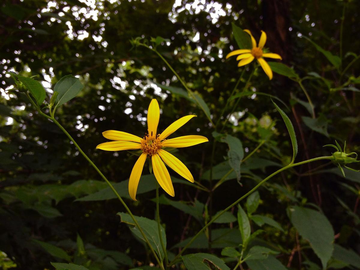 Thin-leaved sunflower
