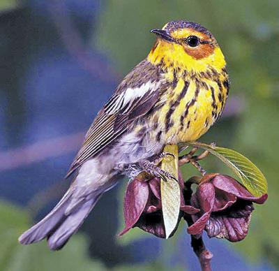 Cape May warbler has its own part to play in spring's avian orchestra