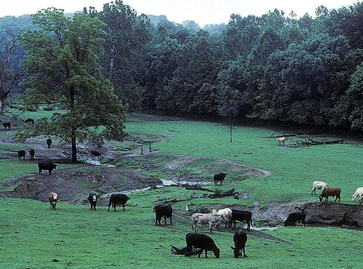 Cattle in stream