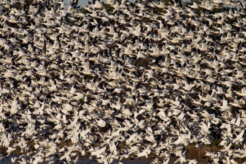 Winter brings waterfowl bonanza to Bay