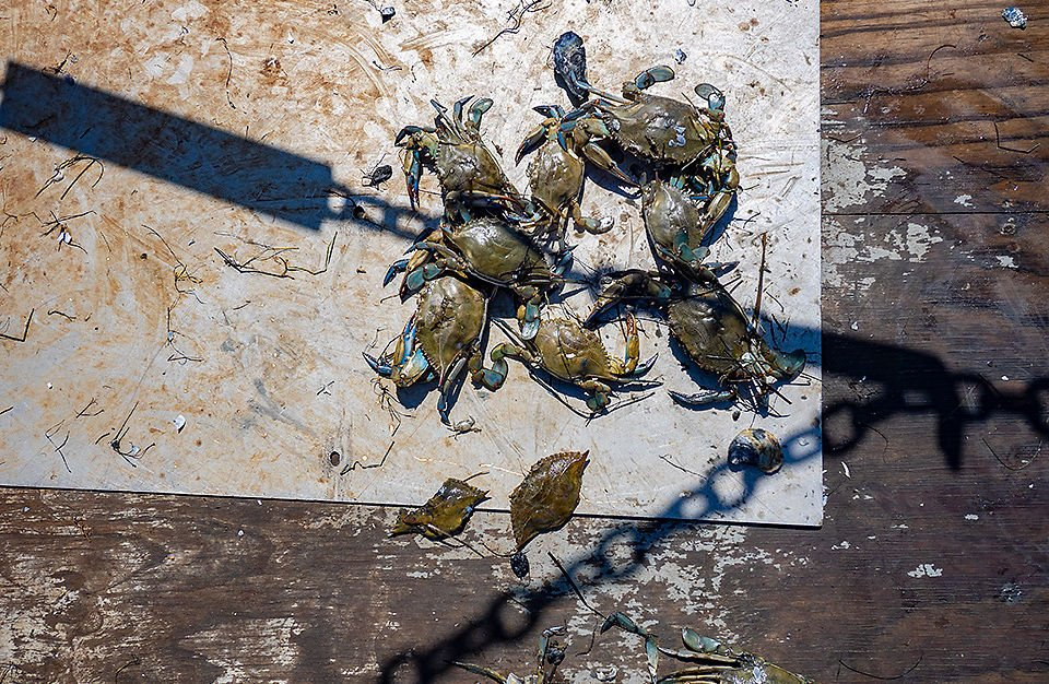Blue crabs during winter survey
