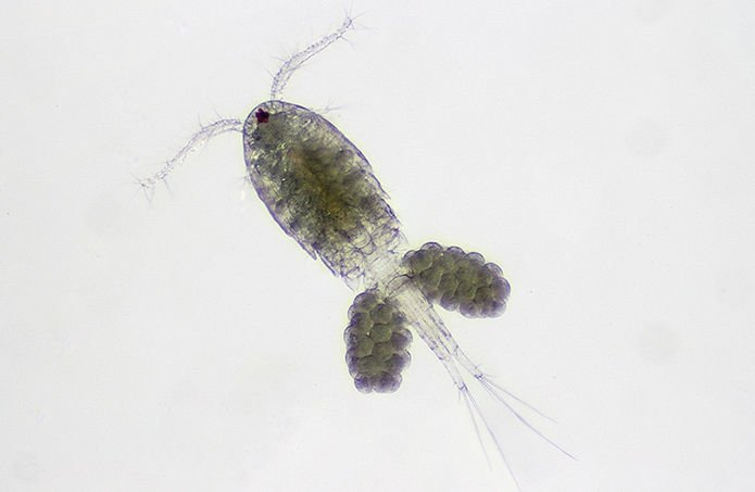 Can tiny crustaceans take a bite out of mosquito population?
