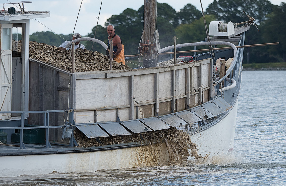 Oyster spat sent into the Tred Avon River